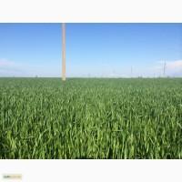 Канадская пшеница. Сорт. Тесла, Днепропетровская обл