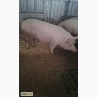 Закупка свиней живым весом