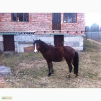 Продам коня гуцульської породи