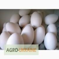 Продам мелким оптом гусиное инкубационное яйцо, породы Крупная серая