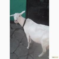 Породам две дойные козы