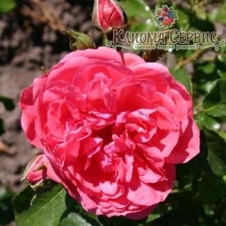Саженцы роз сорт Rosarium Uetersen (Розариум Юстерсейн)