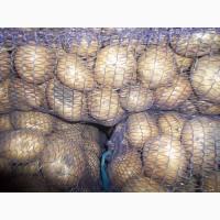 Продам продовольчу картоплю фото реальні