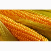 Семена кукурузы Монсанто ДКС 2960 ФАО 250