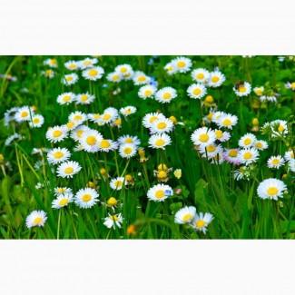 Куплю цвіт маргаритки (стокротки)