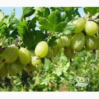 Саженцы крыжовника Зеленый Дождь ( медовый вкус)