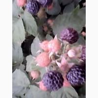 Продам саджанці малини