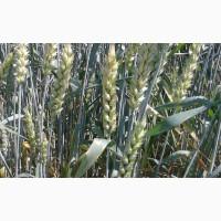 Сорт озимой канадской пшеницы Роял эл, 1р