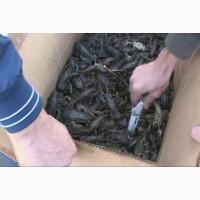 Продам речных живых раков.ОПТ и розница, доставляем в любую точку Украины