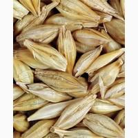 Семена ячменя ASPEN канадский трансгенный сорт ячменя двуручки насіння ячменя