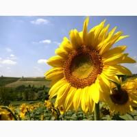 Насіння соняшника «Армагедон» 110дн.(під євро-лайти