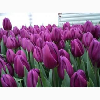 Продам оптом тюльпаны