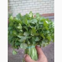 Продам зелень укроп петрушка кинза щавель