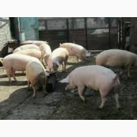 Свинина живым весом, домашние на натуральных кормах