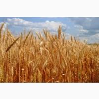 Семена озимой (двуручка) пшеницы ГРАНУС Германия