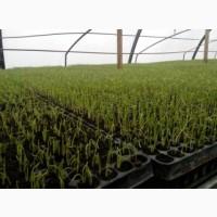 Выращиваем рассаду Кабачка и других овощей в кассетах под заказ
