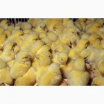 Реализация Бройлеров, Утят, Цыплят, Гусей, Мулард+ комбикорма