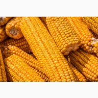 Куплю Кукурузу