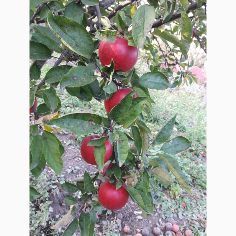 Фото 6. Продам сок яблочный, яблочно-грушевый, прямого отжима