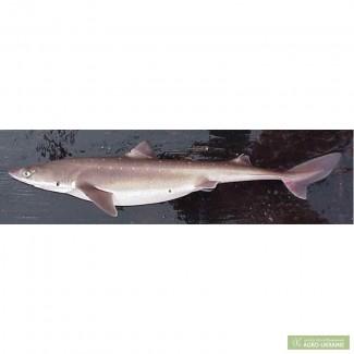 Катран (акула черноморская) с/м