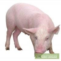 Продам свинину мясная порода 100 -115 кг
