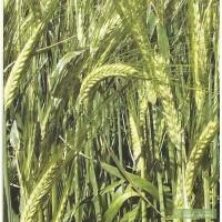 Продам семена ярового ячменя Себастьян от производителя