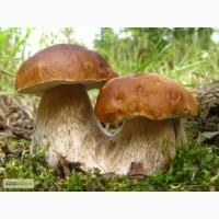 Мицелий белых грибов зерновой первичный с гарантией всхожести