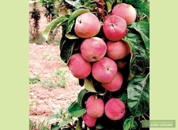 тюмень плодовое купить саженцы