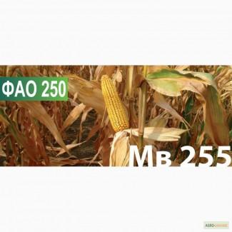 Семена кукурузы Венгерской селекции МВ 255 (ФАО 250)