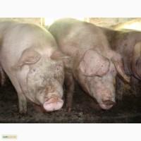 Продам свині мясного напряму(ландрас) вагою від 110 до 130 кг оптом