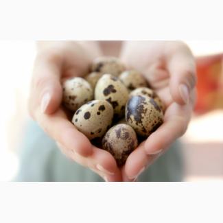 Яйца перепелиные инкубационные Техасец, Фараон