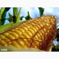 Продам семена кукурузы Даниил