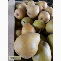 Продам плоды груши, сорт Бере Киевская и Стрыйская