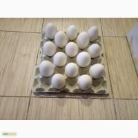 Гусиные яйца на племя