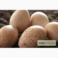 Продам яйце інкубаційне індиче