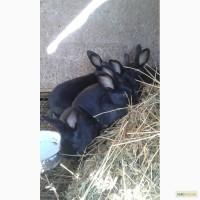 Продам кроленят Полтавське срібло