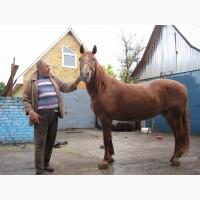 Продам рабочих лошадей