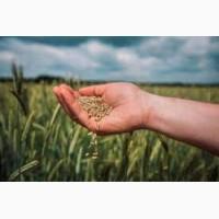 Продам жито 1 класу у великій кількості