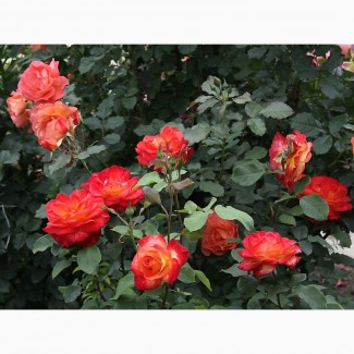 Продаж кущі роз