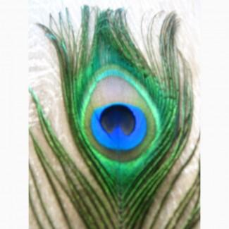 Пір#039;я павича, перья павлина, фен-шуй, декор. ціна залежить від к-сті