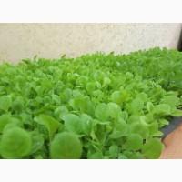 Табак Ксанти(Греческий) семена 1грамм(чайная ложка)-20грн