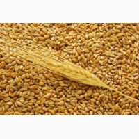 Куплю Ячмень, Пшеницу 2-6 класс, Кукурузу.Самовывоз от 25 тонн. ближайшие обл