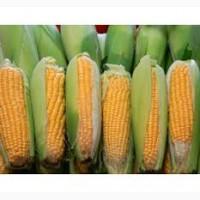 ДН Аквозор гибрид кукурузы