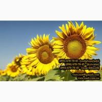 Продам насіння соняшнику Атілла