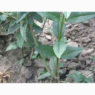 Бирючина 2-х летняя для зеленой изгороди