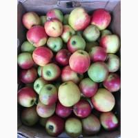 Продам опт яблоко, сорт голден, семеринка, айдаред