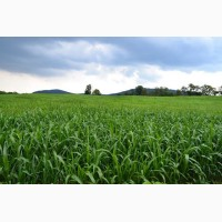 Продам семена Суданки, Сумская область, Конотоп
