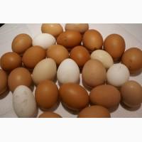 Продам яйца куриные домашние