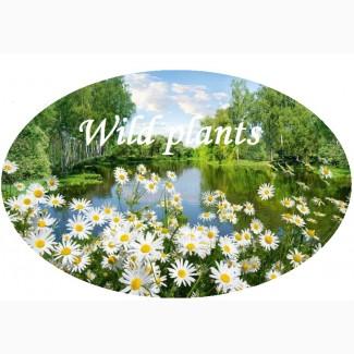 Фірма на постійній основі закуповує лікарські рослини по всій території України