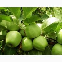 Яблоки от производителя Зимнее Лимонное, Васильков